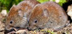 jak się pozbyć myszy