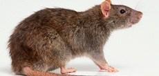 jak usunąć szczura wędrownego