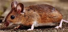 usuwanie myszy i szczurów
